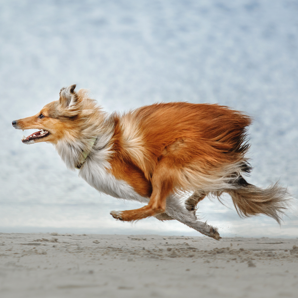 Collie running very fast