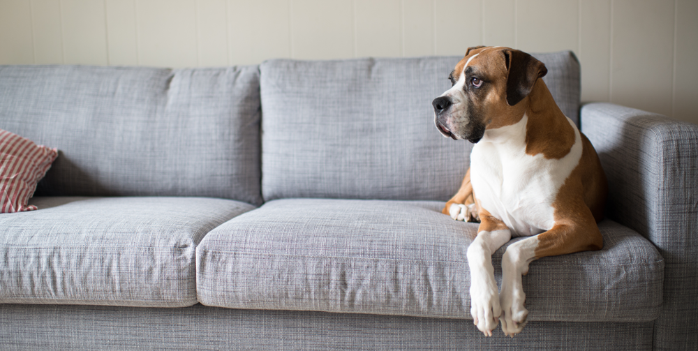 Calm boxer dog on a sofa