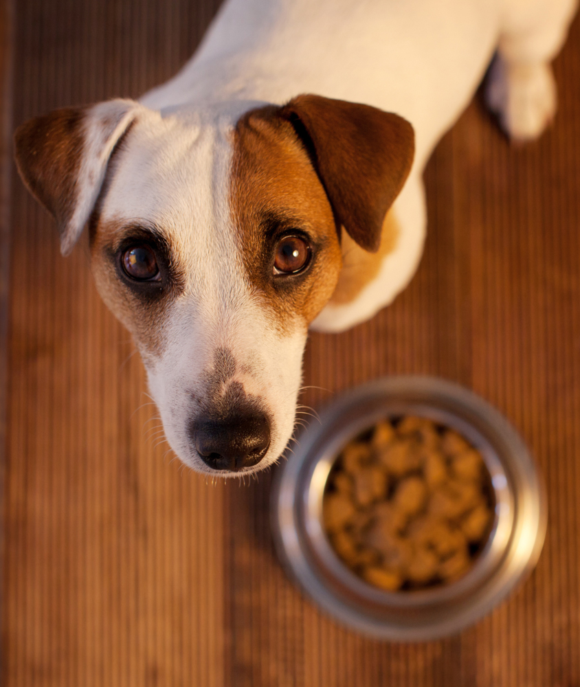 Terrier waiting to be allowed to start eating