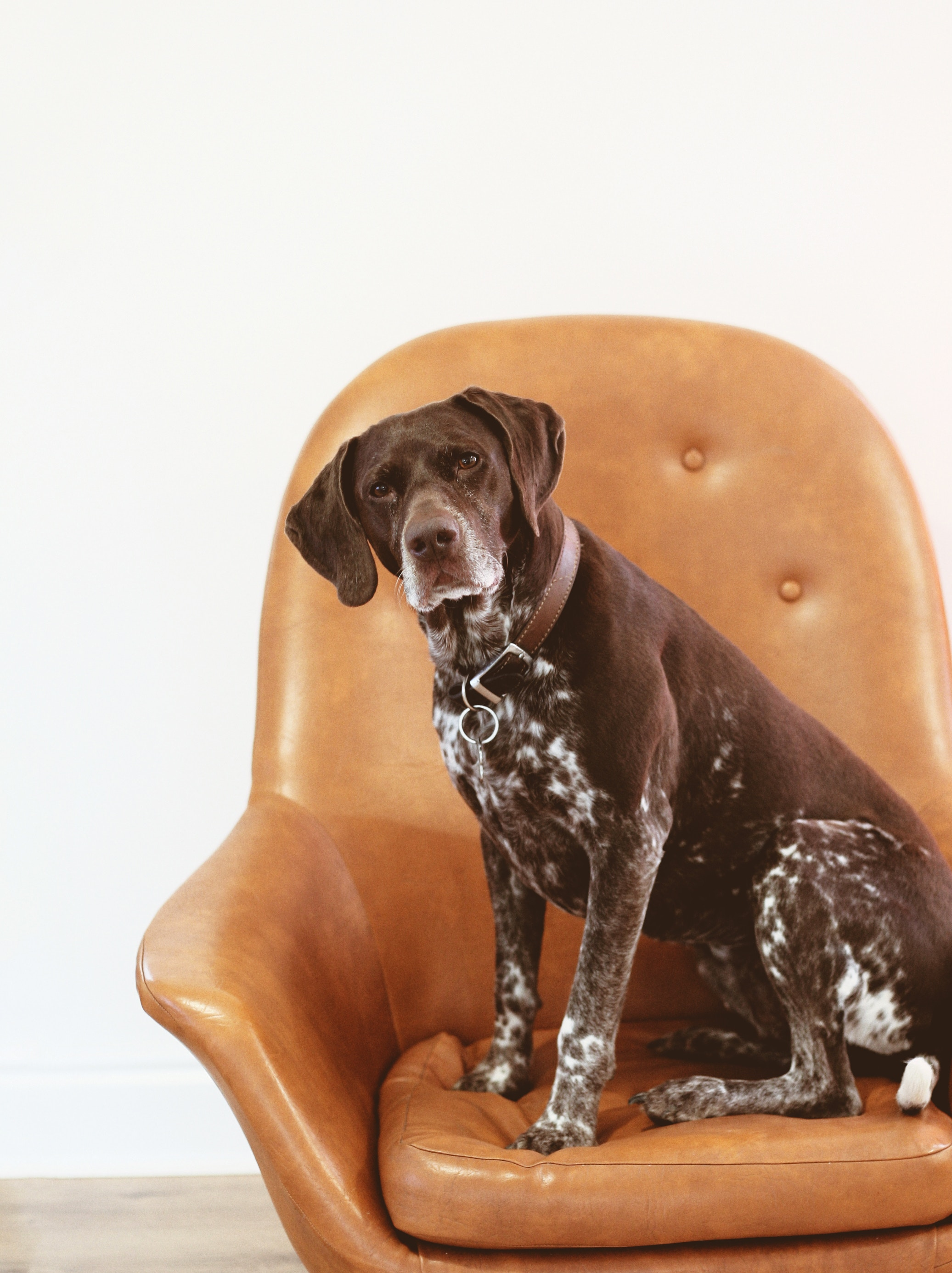 Dog with dementia on a chair
